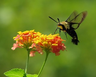 Snowberry Clearwing moth in the lantana