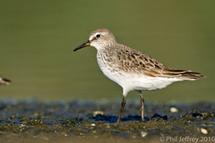 White-rumped Sandpiper adult (phil.jeffrey) Tags: newyorkcity usa ny bird nature canon wildlife avian shorebird jamaicabaywildliferefuge calidrisfuscicollis wwwcatharuscom