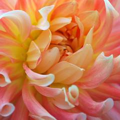 (Katsura under the Full Moon) Tags: dahlia flower color washington farmersmarket august bouquet