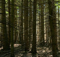 woods (lookseeseen) Tags: trees brown white pine forest sticks woods branches trunks