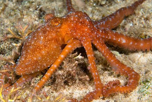 Ornate or Night Octopus (Octopus ornatus)