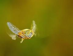 Eristalinus mgacphalus. (aziouezmazouz) Tags: macro insect inspiredbylove magicofnature specanimal abigfave macromarvels thebestmacrophotos vividstriking flickraward5 amazingwildlifephotography