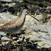 Juvenile Short billed Dowitcher ? ...........3 of 3