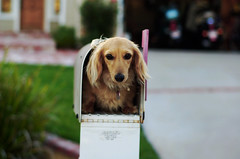 Reef in the mail (Maddie Joyce) Tags: dog pet cute animal mailbox d50 50mm maddie nikon funny post mail box expression mini dachshund short joyce letter parcel reef haired