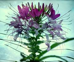 Cleome hassleriana  ( nicolas_gent ) Tags: cleome coth mywinners cleomehassleriana flickrdiamond excellentsflowers nikonflickraward flickraward nikoncoolpixp90 fleursetpaysages 4tografie