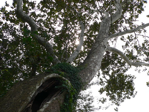 Old Sycamore Tree