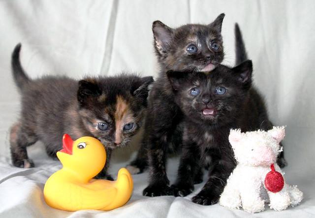 cute rescued tortie kittens