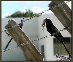 Alimentao (Welton Mattos) Tags: bird nature fly flying interesting nikon day eating natureza pssaro dia interessante voando comendo voa duetos coolpixl110 weltonmattos