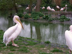 pelicans and flamingoes (jeaniephelan) Tags: london pelican theregentspark flamingoe