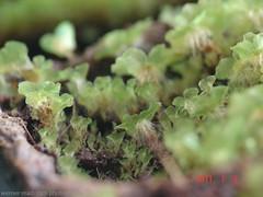 Prothallia Cyathea cooperi (Werner Madritsch) Tags: fern farne treefern baumfarn cyatheacooperi prothallium