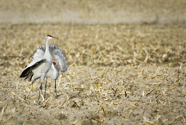 2005 03 Adam Thede - Nebraska Sandhill Crane Migration