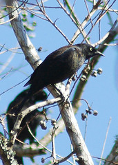 Rusty Blackbird (male)