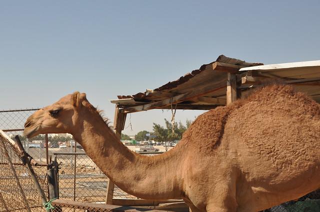 Camel souk-Doha-fev (17)