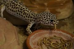 20170701X1818_Leopardgecko_0120 (RascheBilder) Tags: leopardgecko raschebilder