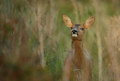 Roe Deer (Fredrik Stige/Wildlife Photography) Tags: roedeer roe wildlife nature summer norway mammals animal deer