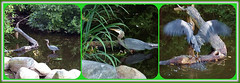 Curious Kiddy (Great Blue Heron youngster) (FernShade) Tags: vancouver stanleypark lostlagoon greatblueheron ardeaherodias heronyoungster birds avian nature wildlife urbanwildlife heronbehavior