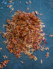 Heaps of Fun (Steve Taylor (Photography)) Tags: blue brown nz newzealand southisland canterbury christchurch cbd city leaves pile maple autumn