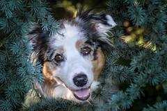 Bairla (morgane.machard) Tags: australianshepherd aussie animaldecompagnie nature bergeraustralien eyes explore nikon photography portrait dog chien