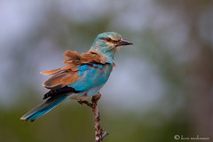 Windblown (leendert3) Tags: europeanroller ngc npc leonmolenaar nature wildlife krugernationalpark southafrica bird