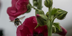 Bey Bey / Doei Doei (Stef32Photo) Tags: bumbelbee hommel flyingbumbelbee vliegendehommel pink roze flower bloem macro105mm nikon d5300 noordholland northholland green groen daytime daylight overdag daglicht flying vliegen