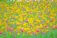 WHERE FLOWERS BLOOM, SO DOES HOPE (Irene2727) Tags: daffodils tulips yellow red green flowers flora nature fieldofflowers spring springtime landscape scape pano panorama