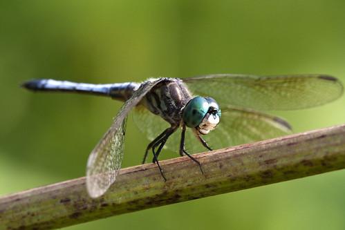 フリー写真素材, 動物, 昆虫, トンボ,