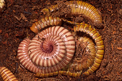 Growth through Molting (nebarnix) Tags: pets brown animals yellow gold desert shed tan bugs bands rings exoskeleton captive moult molt shedding millipede ringed moulting banded molting myriapoda ornatus exuvia diplopoda desertmillipede orthoporus spirostreptidae nebarnix spirostreptida milliepedes