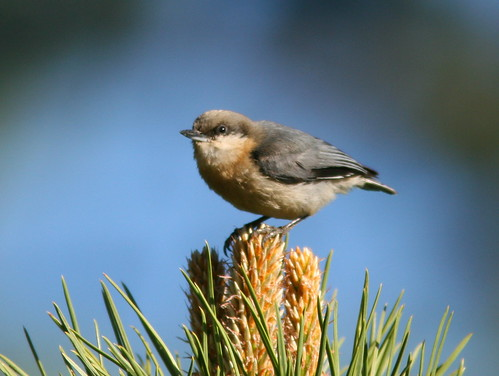 Pygmy Nuthatch 4-20100614