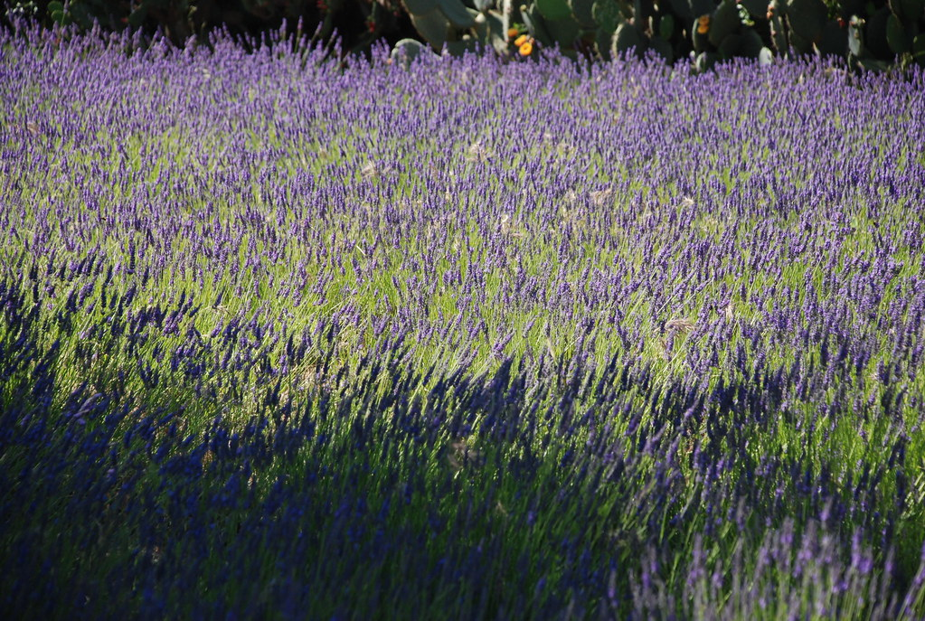 field of swaying lavender