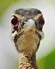 sunbittern (Stuart Whale) Tags: cute bird nikon bokeh beak crazyeyes bristolzoo d300 sunbittern flickrsbest eurypygahelias afs80200 afs17xteleconverter