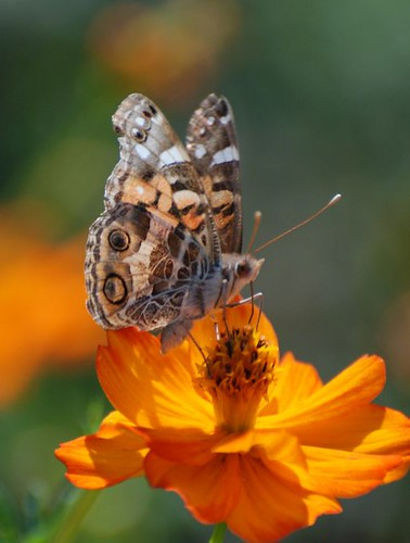 Cosmos and  Common Buckeye RC