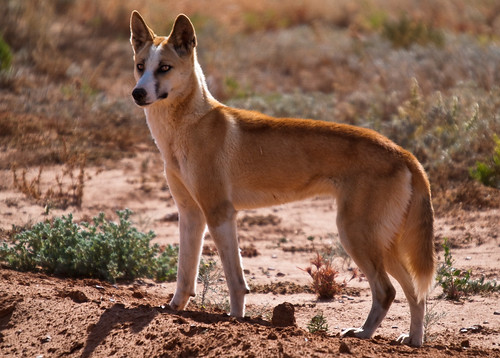 how to draw a desert dingo