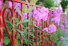 (Sally E J Hunter) Tags: pink red toronto flower fence phlox moo1 35mmf18 papeavenue