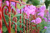(Sally E J Hunter) Tags: pink red toronto flower fence phlox moo1 35mmf18 papeavenue