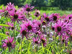Coneflowers in the Lurie Gardens (AGreatEuropeTripPlanner!) Tags: flowers chicago flores fleurs illinois blumen milleniumpark coneflower fiori fiore bloemen blhen luriegardens bloeien florecen florescem