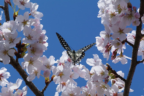 Papilio xuthus with cherry blossoms
