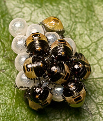 """Hatching Shieldbugs(1) • <a style=""""font-size:0.8em;"""" href=""""http://www.flickr.com/photos/57024565@N00/4760368906/"""" target=""""_blank"""">View on Flickr</a>"""