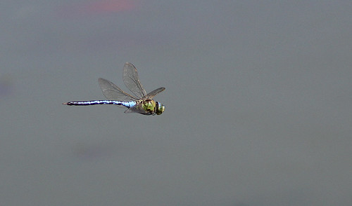 Anax imperator - Emperor Dragonfly