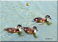 3 Ducklings & A Dragonfly (jmtilley) Tags: orange baby bird nature birds animal animals canon insect duck babies duckling ducks ducklings abigfave jmtilley