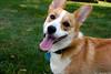 Gryff (aebphoto) Tags: dog home corgi backyard pembrokewelshcorgi fetch gryff