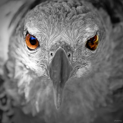 Eagle eyes (-clicking-) Tags: blackandwhite bw texture nature monochrome birds eyes focus dof natural eagle watching observed selectivecolor 500x500 blackwhitephotos winner500 elitegalleryaoi blinkagain blinkagainfrontpage bestofblinkwinners blinksuperstars highqualityanimals