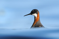 Red-necked Phalarope (Phalaropus lobatus) (m. geven) Tags: ocean sea bird nature animal fauna female golf iceland natuur wave zee headshot dier vrouw avian stilt vogel seabird isl avifauna shorebird oceaan breedingplumage summerplumage redneckedphalarope phalaropuslobatus flatey ijsland scolopacidae migratingbird zeevogel steltloper zomerkleed broedvogel moerasvogel kopportret broedkleed doortrekker phalaropebectroit ijslandiceland prachtkleed grauwefranjepoot odinshnchen breidafjrdur geslachtenverschillend druktemaker arctisch verschillendesexen