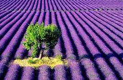 chocri lavender