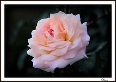 ~ღ~ peace pace paix paz ~ღ~ (ღ kimberlyann207 ღ) Tags: pink white flower macro green nature fleur beautiful rose coral canon lens is spring flora colorful peace cheery bright blossom bokeh flor rosa 100mm petal bloom blomma annual usm burst bunga hybrid blume fiore blomst ef virág bulaklak hoa ua bloem lill blóm gele kwiat blodyn hybrida lule blom kukka cvijet f28l bláth cvet zieds 1to1 kvetina petales floare fjura t1i blomblaarval
