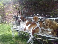 Our Girls 3 (José Arnoldo) Tags: dog beagle dogs schnauzer cockerspaniel saintbernar