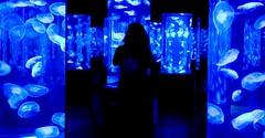 Inside The World Of Moon Jellyfishes (julesnene) Tags: travel blue darkroom aquarium moonjellies moonjelly behindtheglass julesnene manilaoceanpark juliasumangil moonjellyfishes commonjellyfishes saucerjellies