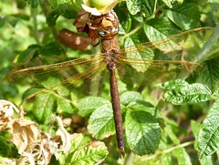 Brown Hawker Dragonfly (ukstormchaser (A.k.a The Bug Whisperer)) Tags: uk brown animal animals fly dragonflies dragonfly wildlife flies milton keynes hawker hawkers