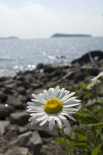lake superior daisy