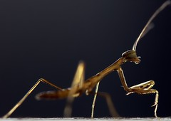 Baby Praying Mantis Macro (Carsten Knoche) Tags: light baby black macro cute beautiful backlight canon mantis insect back small praying tiny micro translucent 28 60mm   translucence        specinsect spectacularinsects