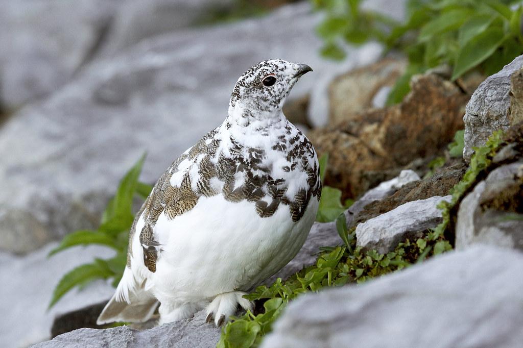 Vancouver Island White-tailed Ptarmigan